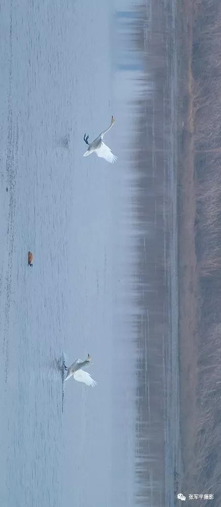 【多图】大美汝州---天鹅栖息在汝河畔
