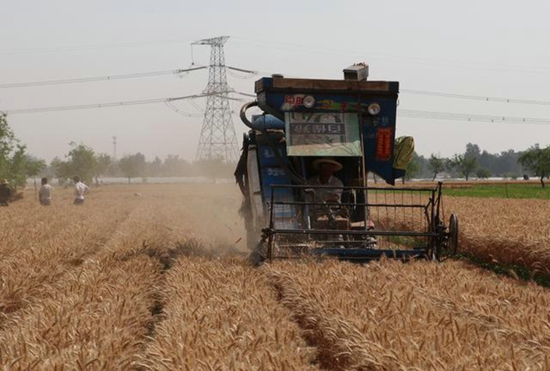 越是灾年越有效!大旱年打小蓝帽小麦每亩800斤 没打300斤